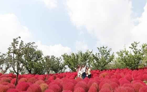 지난 8일 경기도 용인시 에버랜드 하늘매화길에서 관람객들이 붉게 물든 코키아 속에서 가을 정취를 만끽하고 있다.ⓒ연합뉴스